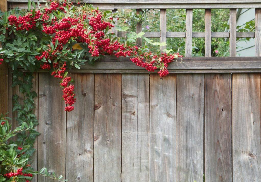 berries overlap the fences